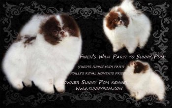 Finch's Wild Parti To Sunny Pom