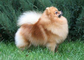 Amazing Gift Of Maja's Pomeranianworld